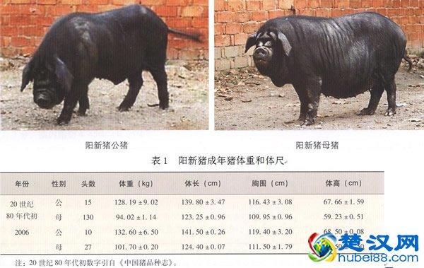 阳新猪介绍 杀年猪让阳新年味儿更浓了