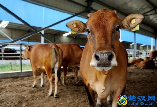 枣北牛介绍 枣北牛肉的口感及营养价值