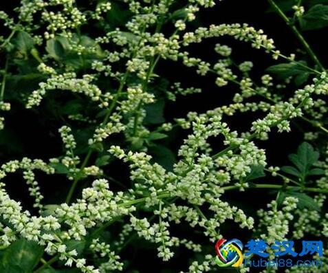红安珍珠花菜做法 珍珠花菜营养价值及口感