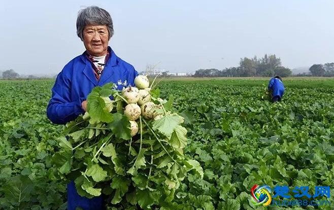 安陆南乡萝卜介绍 南乡萝卜的特点及营养价值