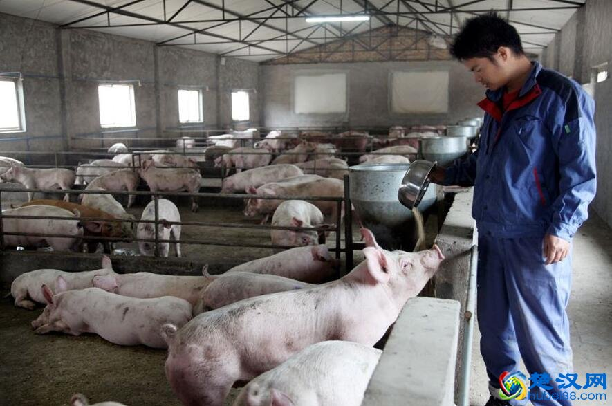 鄂州沙窝白猪介绍 沙窝白猪的特点及口感