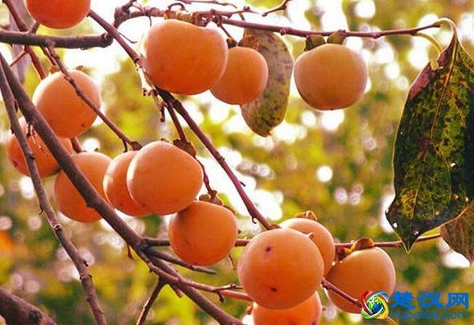 罗田甜柿介绍 罗田甜柿的特点及口感