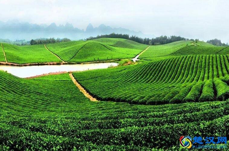 英山茶叶介绍 英山茶叶的品种与特点