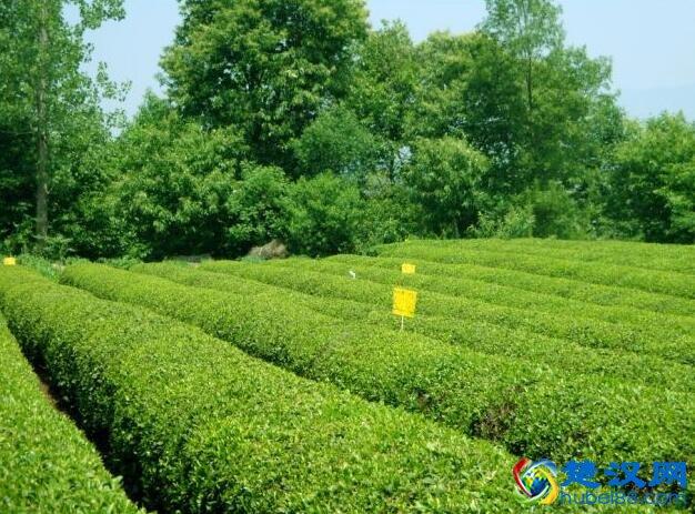 襄阳高香茶介绍 襄阳高香茶的口感及特点
