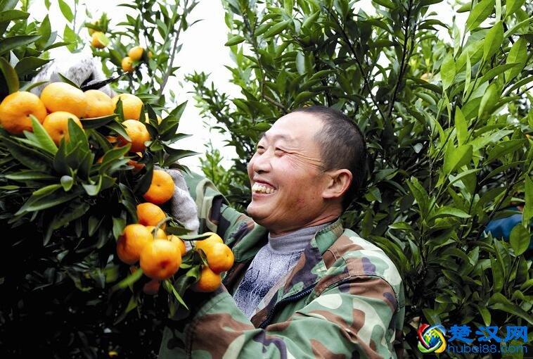 荆州八岭山朱橘介绍 八岭山朱橘的特点及由来