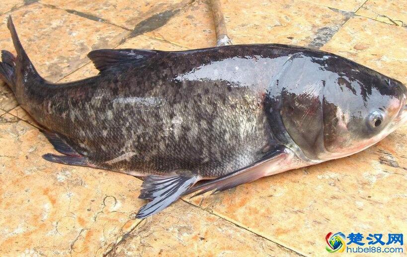 野猪湖胖头鱼介绍 野猪湖胖头鱼的特点
