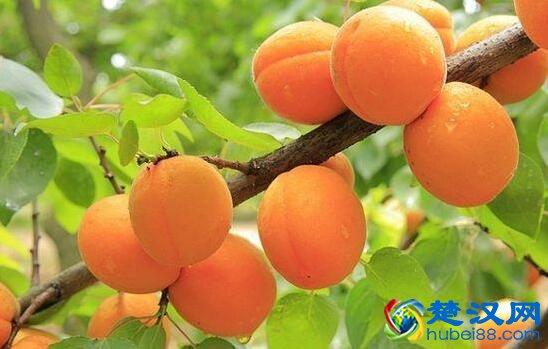 屈家岭黄桃介绍 屈家岭黄桃的特点及产业