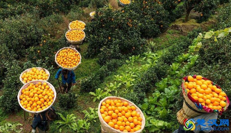 秭归脐橙介绍 秭归脐橙的特点及口感