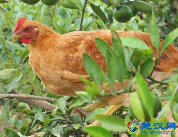 当阳双莲鸡介绍 双莲鸡的特点及历史