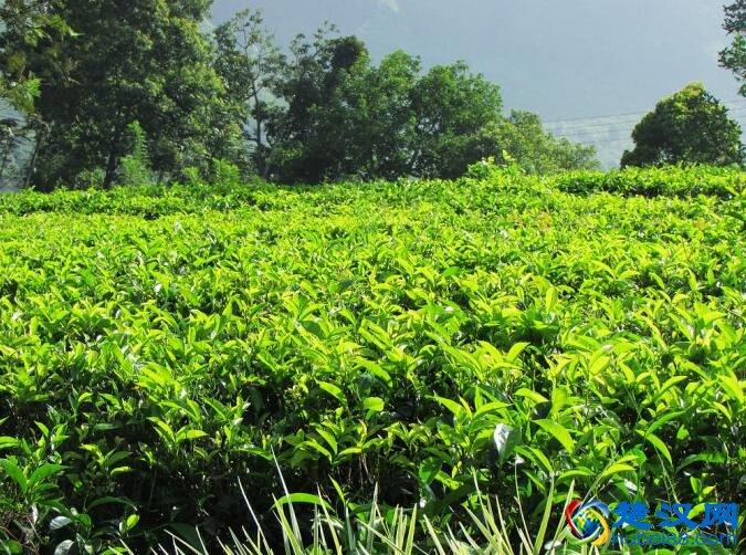 大悟绿茶介绍 大悟绿茶的特点及历史由