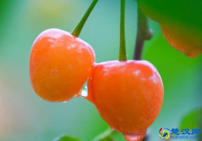汉江樱桃介绍 汉江樱桃的特点及樱桃文化