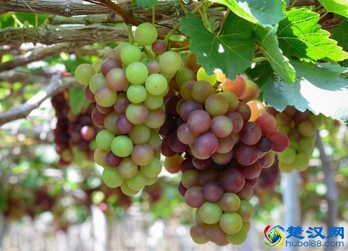 崇阳树葡萄介绍 崇阳树葡萄的特点及产