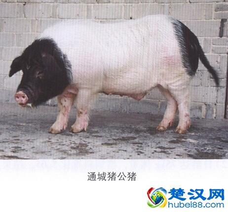 咸宁通城猪介绍 通城猪的口感及特点
