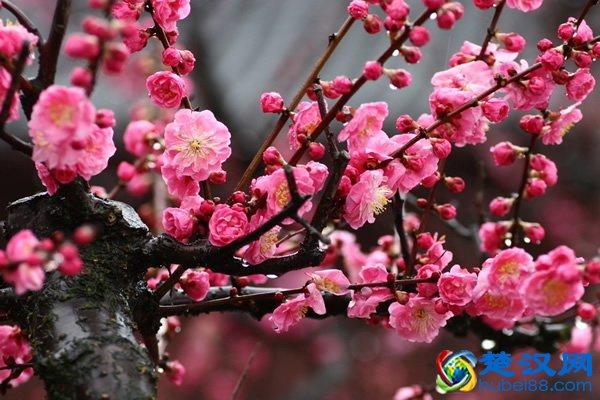 武汉市花是什么花,为什么梅花是武汉市花?