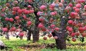 苹果树图片高清组图大全