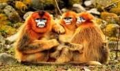金丝猴图片高清组图大全
